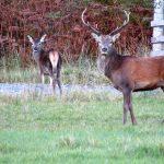 deer, english homestay