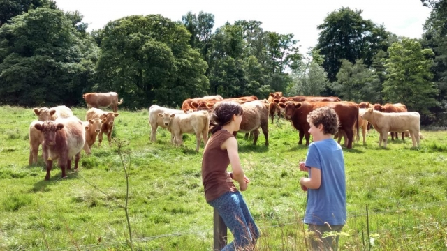 Family homestay in Scotland - cows and calves
