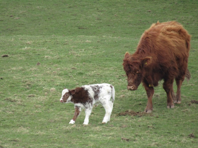 english homestay - Cow with newborn, Cromlix