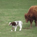 english family homestay in scotland, cow with calf