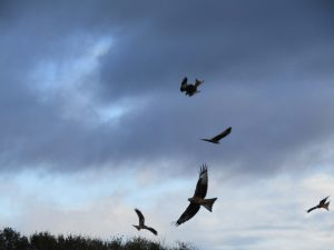 Red Kites - a day trip as part of learning English
