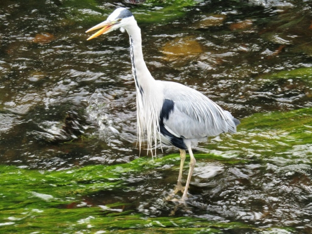 English immersion - heron