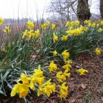 daffodils, english course in scotland
