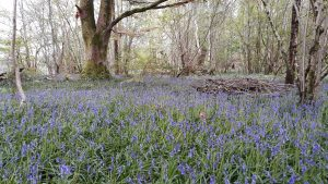 bluebells, english course, edinburgh